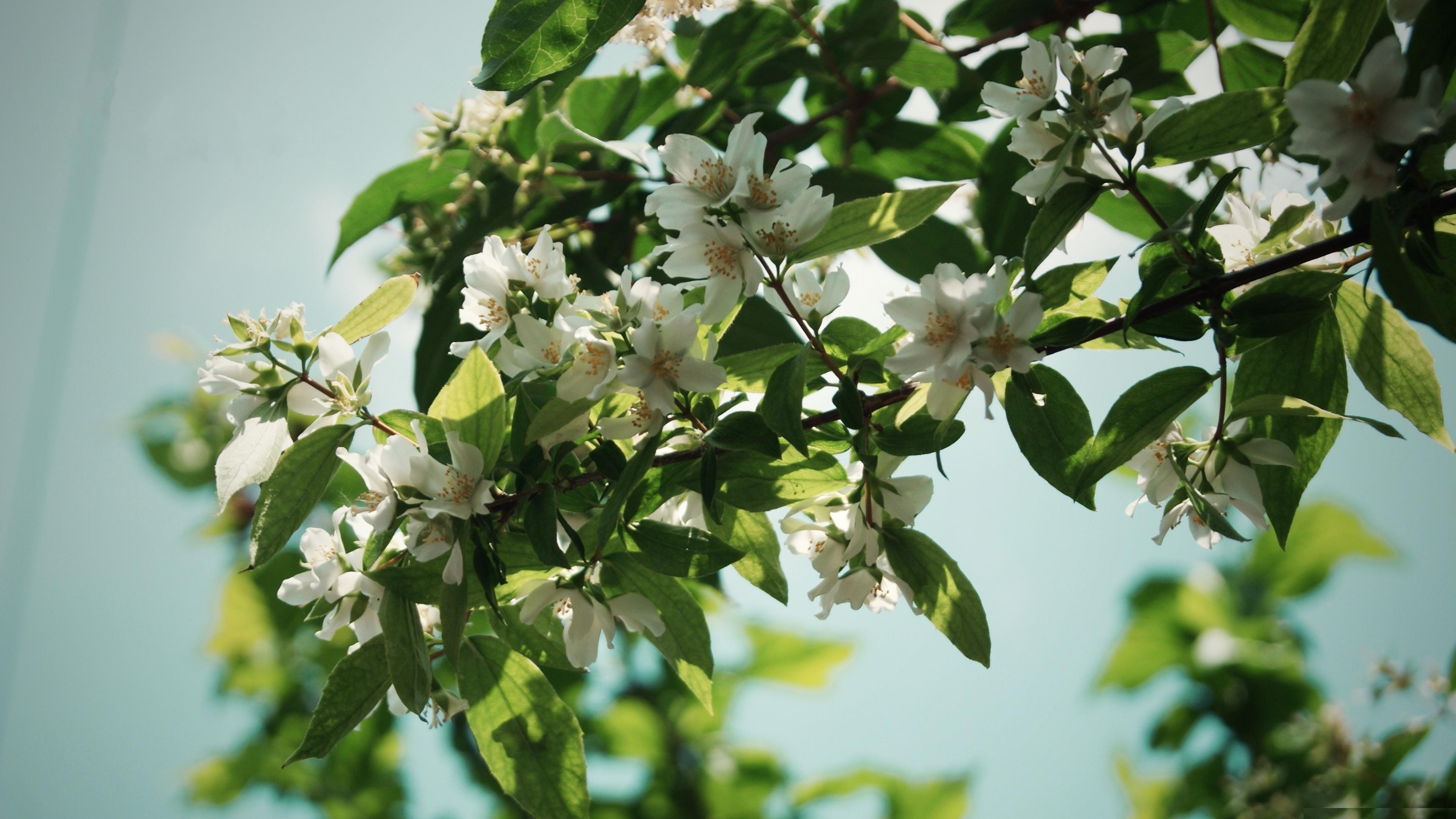 Lovely Jasmine Flower Wallpapers Free Download High Definition